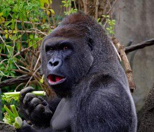 Gorilla alpha male
