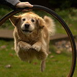 dog jumping through hoops
