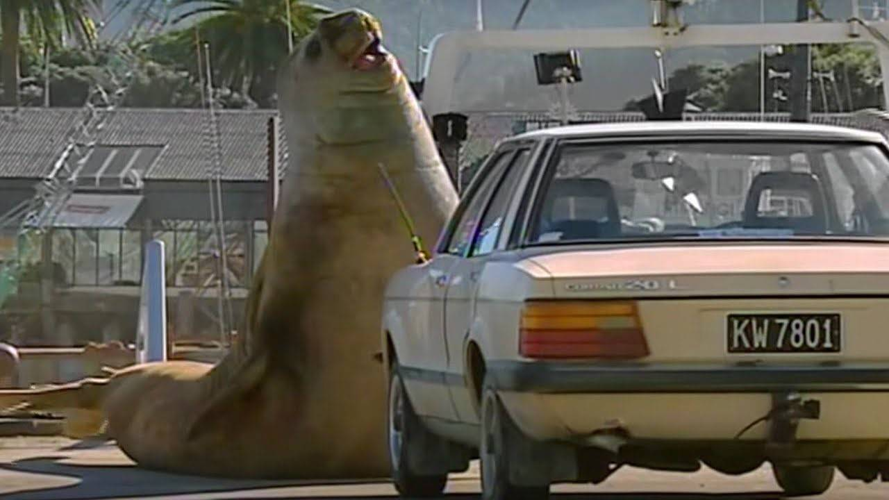 An elephant seal challenging a car